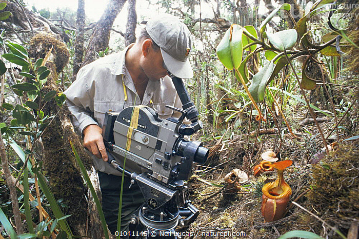 Cameraman Martyn Colbeck filming pitcher plants on Mt Kinabalu, Sabah, Malaysia, for BBC television Natural World programme on Borneo, 1997  ,  FILMING,NHU,NP,PLANTS,SOUTH EAST ASIA,Asia,National Park  ,  Neil Lucas
