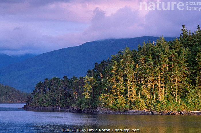 Evening light on forest in Johnstone Straight, British Columbia, Canada  ,  CANADA,COASTAL WATERS,COASTS,CONIFEROUS,EVENING,FORESTS,LANDSCAPES,NORTH AMERICA,SHORELINE,TREES,WOODLANDS,Plants  ,  David Noton
