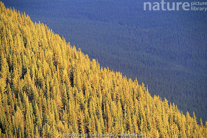 Sunlight hitting the coniferous tree Line, Banff NP, Alberta. Canada  ,  CANADA,CONIFEROUS,FORESTS,HIGHLANDS,LANDSCAPES,MOUNTAINS,NORTH AMERICA,NP,rockies,Rocky,TREES,WOODLANDS,Plants,National Park,,Canadian Rocky Mountain Parks World Heritage Site, UNESCO World Heritage Site,Rocky Mountains,Rockies,NP,Reserve,  ,  Tim Edwards