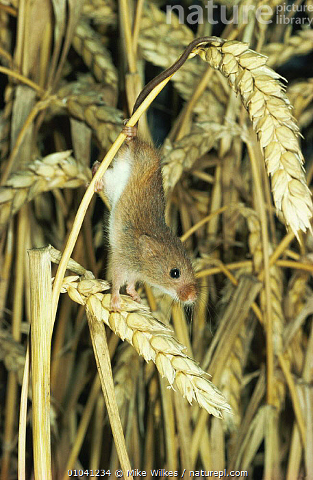Harvest mouse (Micromys minutus) amongst wheat crop in summer, Worcestershire, UK  ,  AGRICULTURE,August,Corn,CROPS,ENGLAND,EUROPE,FARMLAND,MAMMALS,MICE,PORTRAITS,rodents,SUMMER,UK,VERTEBRATES,VERTICAL,United Kingdom,British,Muridae,GettyBOV  ,  Mike Wilkes