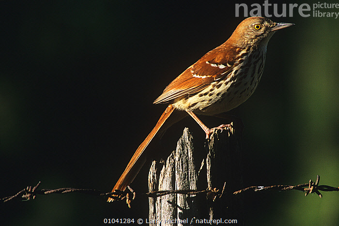 Brown thrasher (Toxostoma rufum) perched on fence, Wisconsin, USA  ,  BIRDS,MIMIDAE,PORTRAITS,PROFILE,THRASHERS,USA,VERTEBRATES,North America  ,  Larry Michael