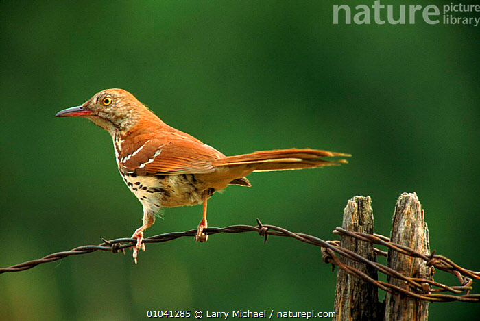 Brown thrasher perched.  Wisconsin, USA  ,  BIRDS,PORTRAITS,HORIZONTAL,USA,LM,POST,WISCONSIN,NORTH AMERICA  ,  Larry Michael