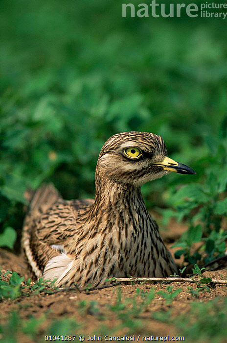 Stone curlew {Burhinus oedicnemus} on nest, UK.  ,  BIRDS,CURLEWS,ENGLAND,NESTS,STONE CURLEWS,UK,VERTEBRATES,VERTICAL,WADING BIRDS,Europe,United Kingdom,British,Plovers,Waders, Waders  ,  John Cancalosi