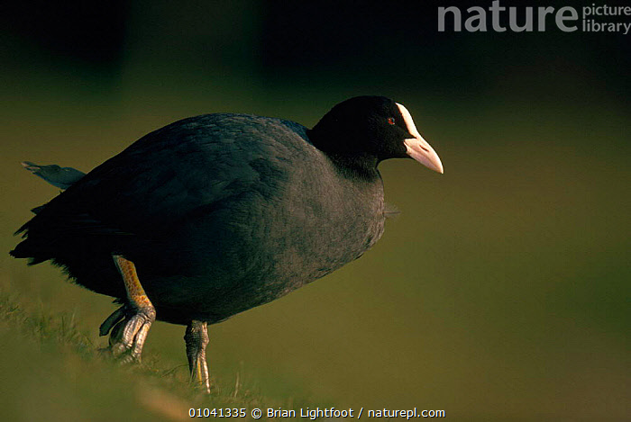 Coot portrait, UK  ,  &,BIRDS,BL,BLACK,BRITISH,CRAKES,EUROPE,FEET,HORIZONTAL,POND,PORTRAIT,PORTRAITS,RAILS,SCOTLAND,UK,UNITED KINGDOM,WATERFOWL,WETLANDS  ,  Brian Lightfoot