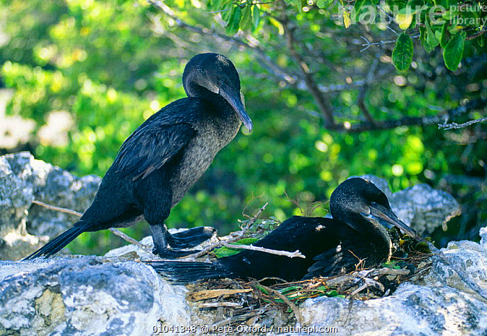 Flightless cormorant pair at nest (Nannopterum harrisi) Galapagos, Isabela Is.  ,  MALE FEMALE PAIR,ISLAND,CORMORANTS,COASTS,NESTS,BIRDS,SEABIRDS  ,  Pete Oxford