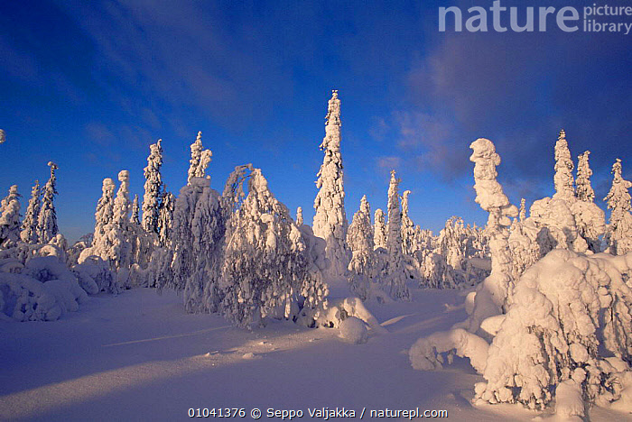 Snow laden trees in boreal forest in winter, Finland  ,  Boreal,CONIFEROUS,EUROPE,Finland,forest,HABITAT,LANDSCAPES,SCANDINAVIA,SNOW,TREES,WINTER,WOODLANDS,Plants, Europe  ,  Seppo Valjakka