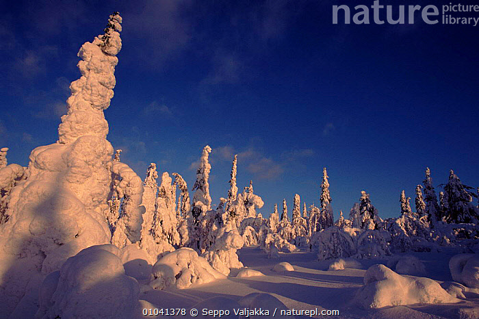 Snow laden trees. Finland, Scandinavia, Europe  ,  TREES,PLANTATIONS,SNOW,CONIFEROUS,HORIZONTAL,SCANDINAVIA,PLANTS, Europe  ,  Seppo Valjakka
