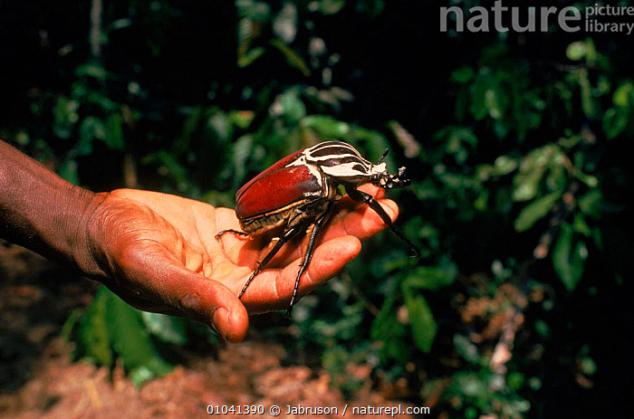 Goliath beetle (Goliathus orientalis). Epulu Ituri Rainforest Reserve, Epulu, Rep of Cong (formerly Zaire), Central Africa  ,  AFRICA, BEETLES, CHAFERS, COLEOPTERA, INSECTS, INVERTEBRATES, RESERVE, TROPICAL-RAINFOREST, VERTICAL , Bruce Davidson  ,  Jabruson