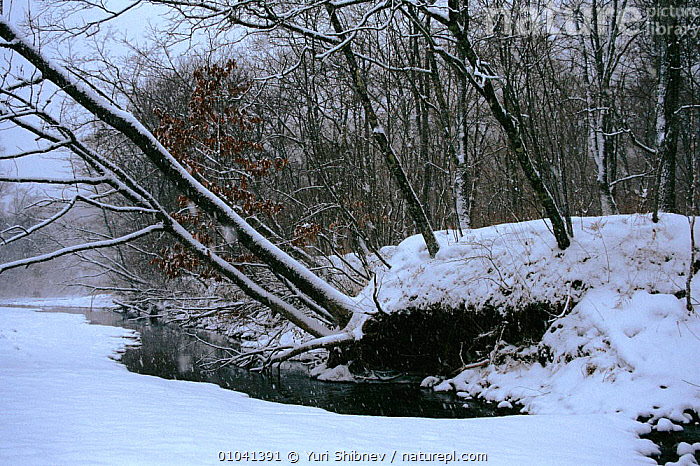 Ussuri forest in winter. Ussuriland, Primorsk, Russia  ,  ,SNOW,USSURI,WINTER,RIVERS,FOREST,SIBERIA,HORIZONTAL,WOODLANDS,USSURILAND,CIS  ,  Yuri Shibnev