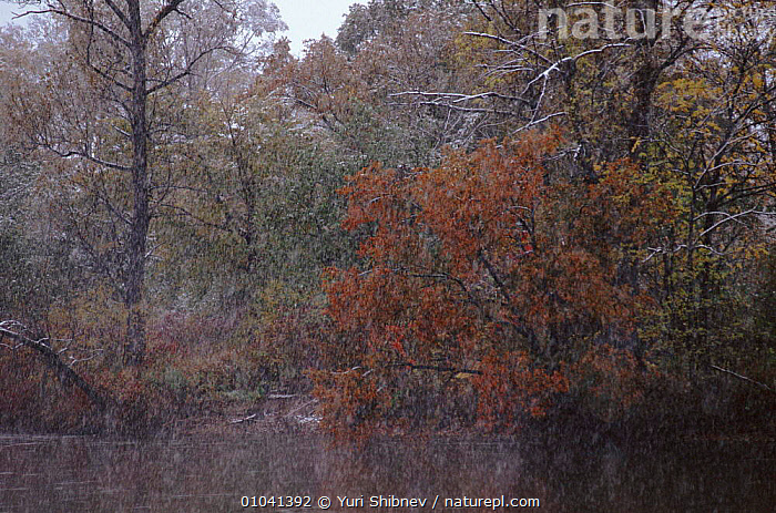 Ussuri forest in winter. Ussuriland, Primorsk, Russia  ,  SNOW,USSURILAND,WINTER,FOREST,USSURI,HORIZONTAL,,RIVERS,SIBERIA,WOODLANDS,CIS  ,  Yuri Shibnev
