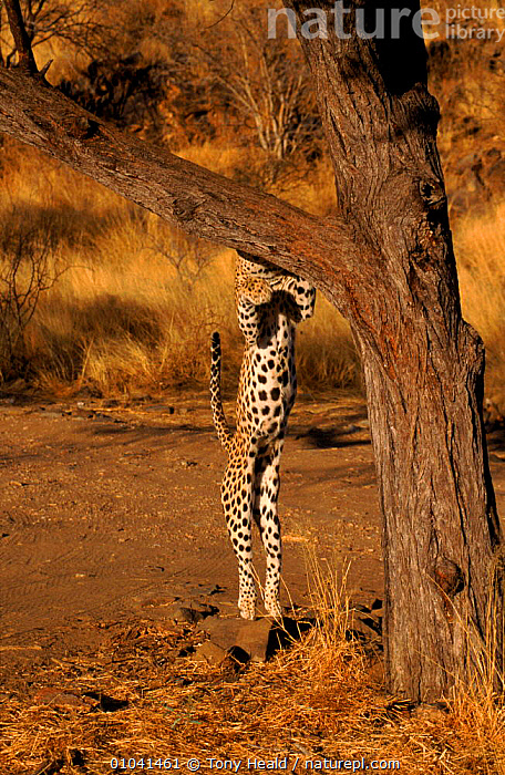 Leopard leaping into tree, Namibia Sequence 2/4  ,  ACTION,AFRICA,BIG CATS,CARNIVORES,CATS,JUMPING,LEOPARDS,MAMMALS,MOVEMENT,SEQUENCE,SOUTHERN AFRICA,TREES,VERTEBRATES,VERTICAL,Plants  ,  Tony Heald