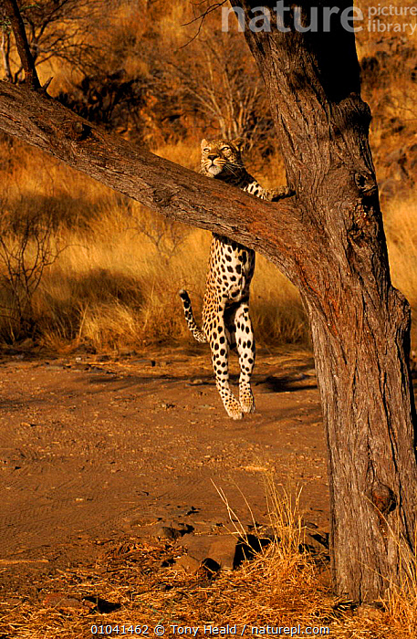 Leopard leaping into tree, Namibia Sequence 3/4  ,  ACTION,AFRICA,BIG CATS,CARNIVORES,JUMPING,LEOPARDS,MAMMALS,MOVEMENT,SEQUENCE,SOUTHERN AFRICA,TREES,VERTEBRATES,VERTICAL,Plants  ,  Tony Heald