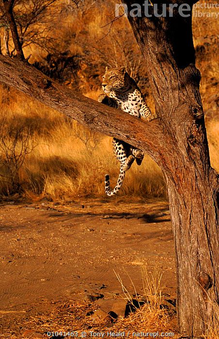 Leopard leaping into tree, Namibia Sequence 4/4  ,  ACTION,AFRICA,BIG CATS,CARNIVORES,JUMPING,LEOPARDS,MAMMALS,MOVEMENT,SEQUENCE,SOUTHERN AFRICA,TREES,VERTEBRATES,VERTICAL,Plants  ,  Tony Heald