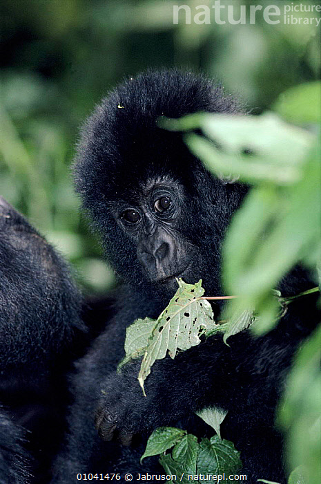 Mountain gorilla infant. Democratic Republic of Congo, Virunga National Park  ,  CUTE,MAMMALS,AFRICA,NP,VIRUNGA,BABIES,VERTICAL,RESERVE,CLOUD FOREST,CONGO,PRIMATES,NATIONAL PARK,GREAT APES , Bruce Davidson  ,  Jabruson