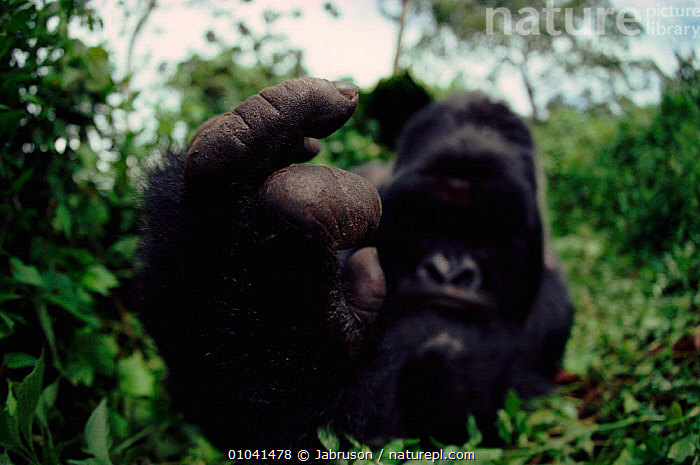 Mountain gorilla male (Gorilla g. beringei), detail of hand. Virunga NP, DR Congo (formerly Zaire), Central Africa  ,  NP,CLOSE UPS,VIRUNGA,HANDS,HUMOROUS,PRIMATES,CONGO,GREAT,APES,MAMMALS,CENTRAL AFRICA,MALES,AFRICA,CONCEPTS,NATIONAL PARK,GREAT APES , Bruce Davidson  ,  Jabruson