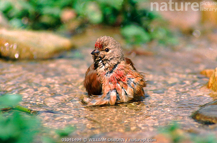 Linnet (Acanthis cannabina) male bathing in spring, South Glos England.  ,  MALE,BIRDS,WO,EUROPE,HORIZONTAL,BATHING,GLOS,ENGLAND,SOUTH,GROOMING,,FINCHES ,LAKES  ,  WILLIAM OSBORN