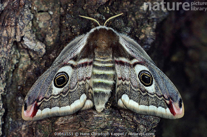 Emporer moth resting on tree, wings closed, Germany  ,  EMPEROR-MOTHS, EUROPE, GERMANY, HORIZONTAL, INSECTS, INVERTEBRATES, LEPIDOPTERA, MOTHS, PORTRAITS, SPOTS, WINGS  ,  Hans Christoph Kappel