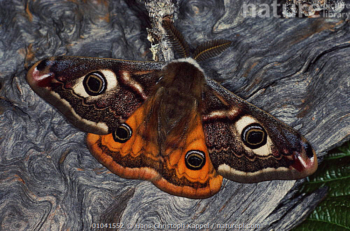 Emporer moth resting, wings open, Germany  ,  EMPEROR-MOTHS, EUROPE, GERMANY, HORIZONTAL, INSECTS, INVERTEBRATES, LEPIDOPTERA, MOTHS, PORTRAITS, SPOTS, WINGS  ,  Hans Christoph Kappel