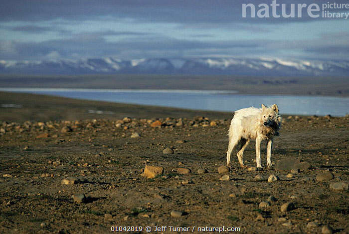 White Arctic race adult Grey wolf (Canis lupus) Ellesmere Island, Canada. Wild  ,  ARCTIC,CANADA,CANIDS,CARNIVORES,LANDSCAPES,MAMMALS,north america,VERTEBRATES,WOLVES,Dogs  ,  Jeff Turner