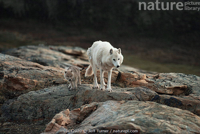 White arctic race grey wolf mother and pup (Canis lupus) walking near den, Ellesmere Island, Canada  ,  ARCTIC,CANADA,CANIDS,CARNIVORES,CUTE,FAMILIES,FEMALES,MAMMALS,north america,PARENTAL,PORTRAITS,VERTEBRATES,WOLVES,Dogs  ,  Jeff Turner