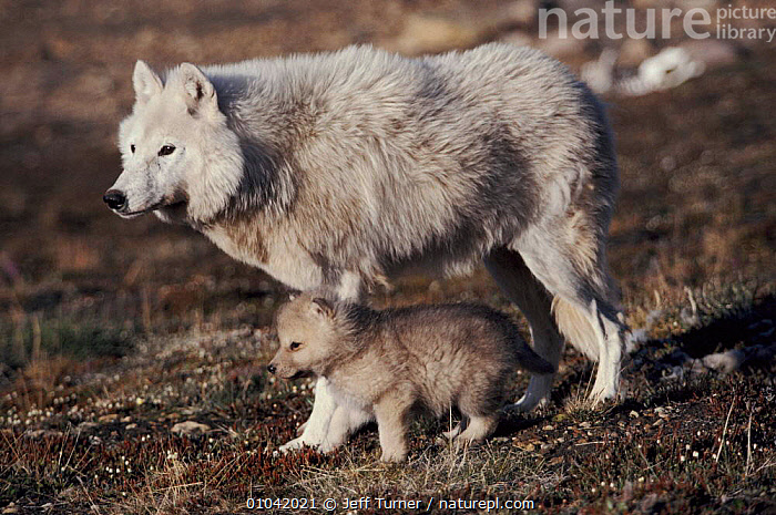 Grey wolf (arctic form) with pup near den, Ellesmere Island, Canada  ,  CANADA,MAMMALS,CUTE,FAMILIES,CARNIVORES,ARCTIC,ELLESMERE,HORIZONTAL,WHITE,JTU,NORTH AMERICA,DOGS,CANIDS  ,  Jeff Turner