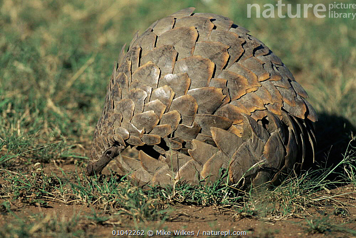 Giant ground pangolin curled up (Manis gigantea) Tanzania.  ,  EAST AFRICA,MAMMALS,PANGOLINS,SAVANNA,SCALES,VERTEBRATES,Grassland,Edentates,Africa  ,  Mike Wilkes