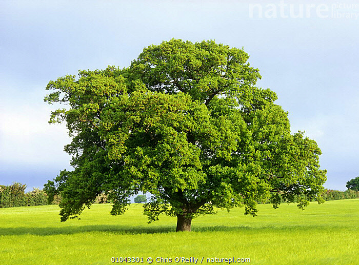 Oak tree in field (Quercus robur) Derbyshire, UK. Sequence, May, DICOTYLEDONS,EUROPE,FAGACEAE,FARMLAND,LANDSCAPES,PLANTS,PORTRAITS,SPRING,TREES,UK,United Kingdom,British, United Kingdom, United Kingdom, United Kingdom, United Kingdom, United Kingdom, United Kingdom,Catalogue1, Chris O'Reilly