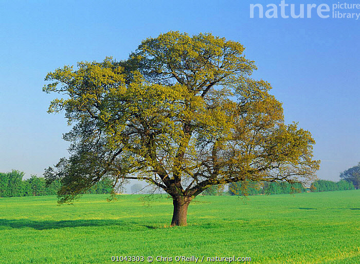 Oak tree (Quercus robur) in field, Derbyshire, UK. sequence, March, BRITISH,COR,DERBYSHIRE,ENGLAND,EUROPE,FARMLAND,FIELD,HORIZONTAL,LANDSCAPES,MAY,PLANTS,PORTRAITS,SPRING,TREES,UK,UNITED KINGDOM, United Kingdom, United Kingdom, United Kingdom,Catalogue1, Chris O'Reilly