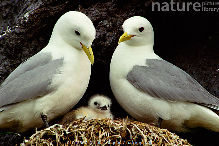 Kittiwake pair with chick. (Rissa tridactyla) St Lawrence Gulf, Canada., GULLS,FAMILIES,PARENTAL,CHICK,COASTS,CANADA,BIRDS,BABIES,MALE FEMALE PAIR,SEABIRDS,NESTS,North America, Louis Gagnon
