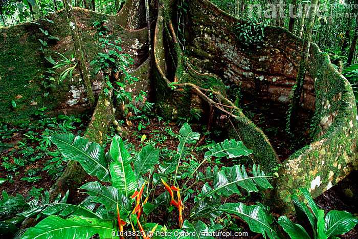 Buttress roots of Fig tree, Ficus sp. Yasuni NP. Ecuador Amazonia  ,  PLANTS,SOUTH EAST ASIA,SOUTH AMERICA,TREES,TROPICAL RAINFOREST,NP,UNDERSTOREY,Asia,National Park , understory  ,  Pete Oxford