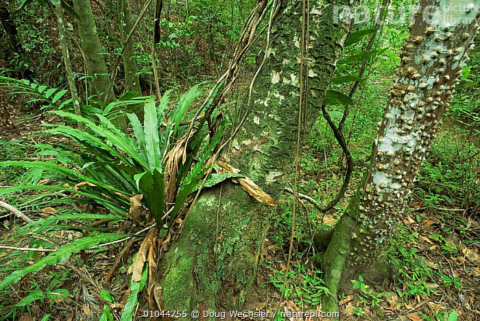 Open understorey of dry sub tropical forest with (Zanthoxylum sp), La Guira NP, Cuba, CARIBBEAN,CENTRAL AMERICA,EPIPHYTES,interior,NP,PLANTS,TROPICAL,TROPICAL DRY FOREST,TRUNKS,UNDERSTOREY,WEST INDIES,National Park , understory, Doug Wechsler