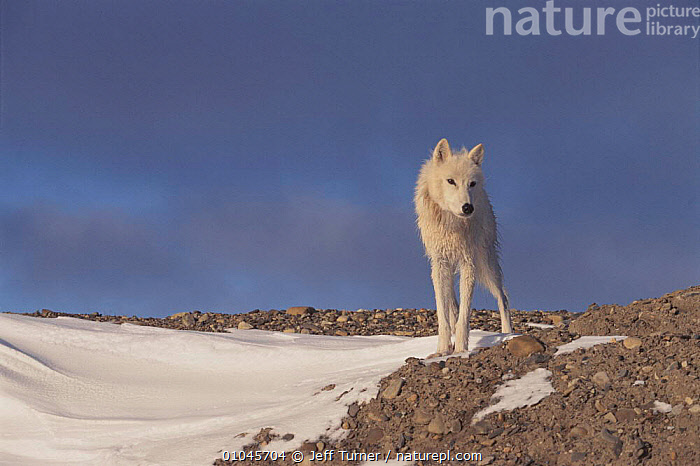 Grey wolf (white arctic form) Ellesmere Island, Canada  ,  SNOW,JTU,WHITE,COLOUR PHASE,CANADA,ELLESMERE,MAMMALS,ARCTIC,HORIZONTAL,CARNIVORES,NORTH AMERICA,DOGS,CANIDS  ,  Jeff Turner