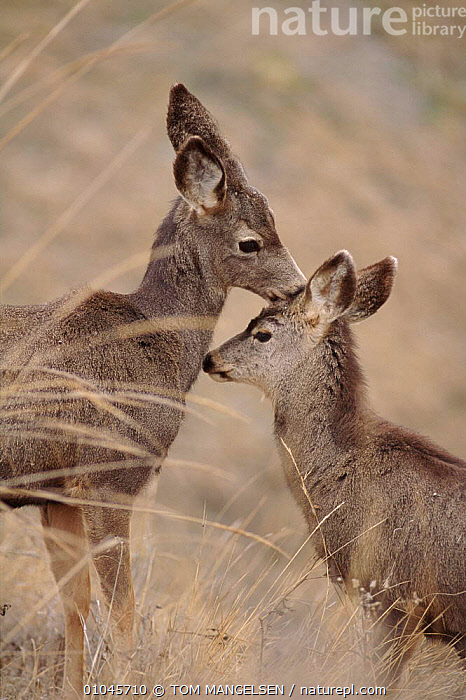 Mule deer (Odocoileus hemionus), female nuzzling young. Montana, USA, FRIENDSHIP,FEMALE,PARENTAL,ARTIODACTYLA,MAMMALS,BABIES,CUTE,NUZZLING,USA,YOUNG,MONTANA,PROTECTION,VERTICAL,FAMILIES,NORTH AMERICA,CONCEPTS, TOM MANGELSEN
