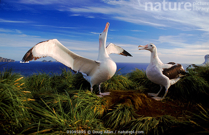 Wandering albatross (Diomedea exulans) displaying. Bird Island, South Georgia, Antarctica, ALBATROSSES,ANTARCTICA,BIRDS,COASTS,COMMUNICATION,DISPLAY,gamming,HORIZONTAL,REPRODUCTION,SEABIRDS,VERTEBRATES,FALKLAND ISLANDS, Doug Allan