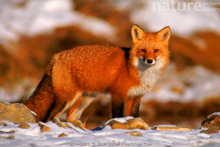North American red fox in snow. Canada, AMERICA,CANADA,CANIDS,CARNIVORES,DOGS,JS,MAMMALS,NORTH,NORTH AMERICA,SNOW,USA,WOODLANDS, Jose Schell