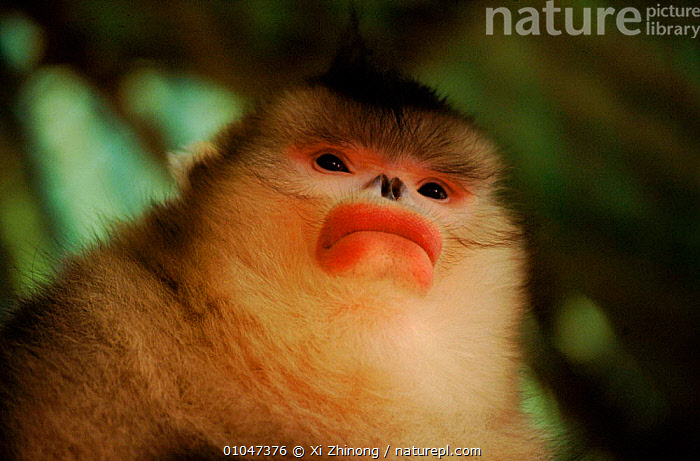 Yunan snub nosed monkey (Rhinopithecus bieti) Yunnan, China. Captive, HORIZONTAL,PORTRAITS,MAMMALS,FACES,WEIRD,PRIMATES,YUNNAN,COLOURFUL,CHINA,CUTE,FACES,XZ,ASIA, Xi Zhinong