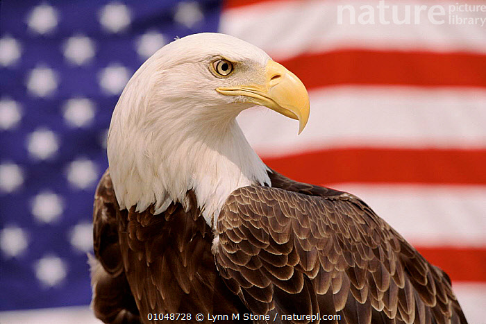 American bald eagle portrait against USA flag {Haliaeetus leucocephalus} Not available for ringtone/wallpaper use.  ,  TOURISM,FLAG,PORTRAITS,HORIZONTAL,USA,,SYMBOLIC,CULTURES,BIRDS,LS ,BIRDS OF PREY,NORTH AMERICA,EAGLES,RAPTOR,RINGTONE  ,  Lynn M Stone