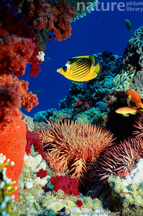 Crown of thorns starfish and butterflyfish on coral reef, Red Sea, Egypt.  ,  COLOURFUL,CORAL REEFS,DIVERSITY,ECHINODERMS,FISH,GD,INVERTEBRATES,MARINE,RED,SEA,VERTICAL,Starfish, Starfish  ,  Georgette Douwma