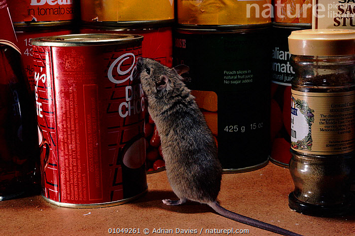 House mouse (Mus musculus) in pantry. England, UK, Europe  ,  TINS,UK,FOOD,PANTRY,BUILDINGS,MOUSE,RODENTS,JARS,ENGLAND,HORIZONTAL,EUROPE,UNITED KINGDOM,MAMMALS,BRITISH,MURIDAE  ,  Adrian Davies