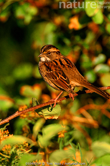 White throated sparrow perched, Long Is, USA  ,  PORTRAITS,PASSERINES,USA,VERTICAL,PERCHED,HORIZONTAL,BIRDS,TV,NORTH AMERICA  ,  Tom Vezo