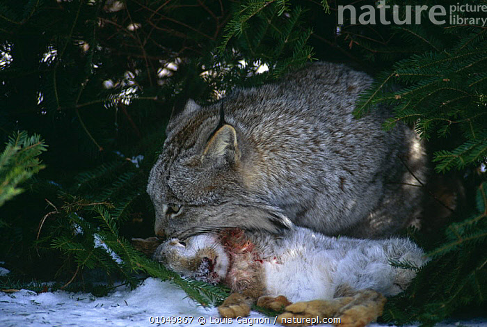Canadian lynx {Lynx lynx canadensis} feeding on Snowshoe hare, captive, Canada., CANADA,CARNIVORES,CATS,CLOSE UPS,CONIFEROUS,FEEDING,MAMMALS,PREDATION,RESERVE,SNOW,VERTEBRATES,WILDLIFE,North America,Behaviour, Louis Gagnon