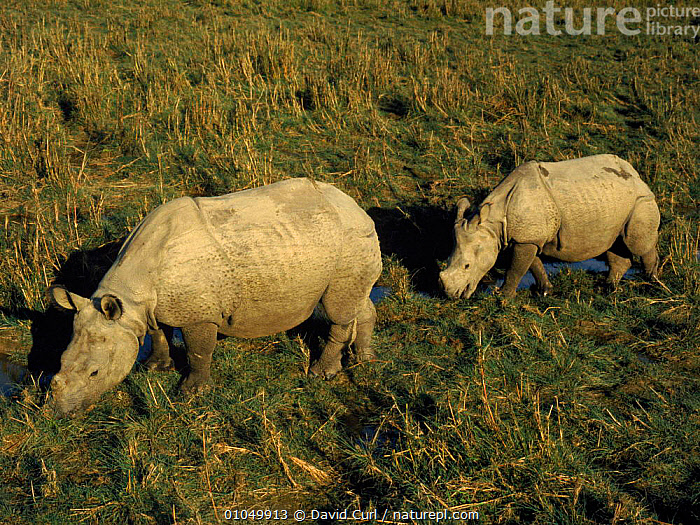 Indian rhinoceros with calf, Chitwan NP, Nepal, India., INDIAN SUBCONTINENT,INDIA,CHITWAN,TWO,RESERVE,DC,NP,PERISSODACTYLA,FAMILIES,HORIZONTAL,MAMMALS,NEPAL,ASIA,NATIONAL PARK , rhino, rhinos, rhinoceros, , rhino, rhinos, rhinoceros,, David Curl