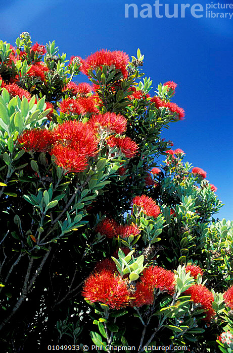 Pohutukawa tree in flower {Metrosideros excelsa} on south coast North Island New Zealand  ,  DICOTYLEDONS,FLOWERS,NEW ZEALAND,PLANTS,RED,TREES  ,  Phil Chapman