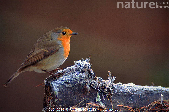 Robin on frosty perch, England UK  ,  BIRDS,BRITISH,ENGLAND,EUROPE,HORIZONTAL,PASSERINES,PORTRAITS,RH,UK,UNITED KINGDOM,WINTER  ,  RACHEL HINGLEY
