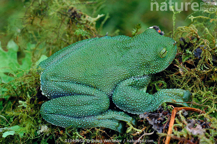 Pacific giant glass frog (Centrolenella geckoideum). NW Andes (2550m), Carchi Province, Ecuador, South America  ,  AMPHIBIANS, HIGHLANDS, Anura, FROGS, GLASS-FROGS, GREEN, HORIZONTAL, PORTRAITS, VERTEBRATES, WEIRD  ,  Doug Wechsler