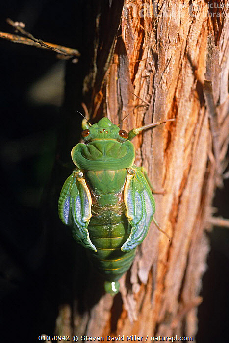 Greengrocer cicada pumping wings after emerging from nymph case (Cyclochila australasiae) Australia  ,  ARTHROPODS,AUSTRALIA,BUGS,CICADAS,EMERGENCE,EMERGING,GREEN,HEMIPTERA,INSECTS,INVERTEBRATES,VERTICAL,WINGS  ,  Steven David Miller