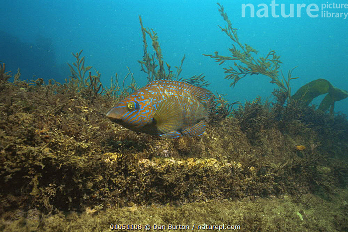 Rock cook wrasse {Centrolabrus exoletus} Devon, UK  ,  COLOURFUL,ENGLAND,EUROPE,FISH,HABITAT,MARINE,OSTEICHTHYES,TEMPERATE,UK,VERTEBRATES,WRASSE,United Kingdom,British  ,  Dan Burton