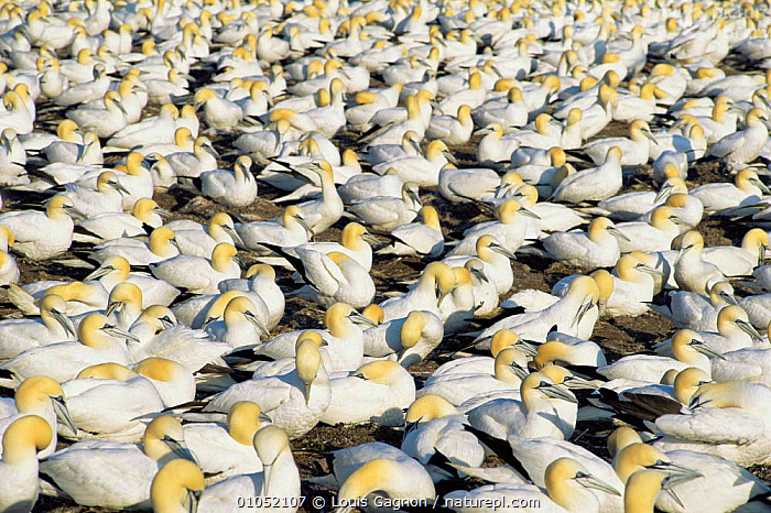 Northern gannet nesting colony {Morus bassanus}  St Lawrence Gulf, Canada, BIRDS, CANADA, FLOCKS, GANNETS, NESTS, north america, SEABIRDS, VERTEBRATES, Louis Gagnon