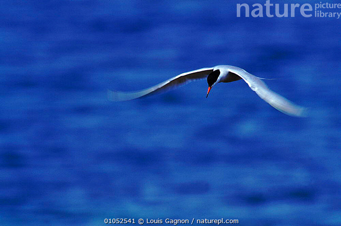 Adult Common tern in flight (Sterna hirundo). Quebec, Canada, FEEDING,FLIGHT,SEABIRDS,PORTRAITS,SINGLE,ADULT,FLYING,QUEBEC,TERNS,CANADA,HORIZONTAL,BIRDS,NORTH AMERICA, Louis Gagnon