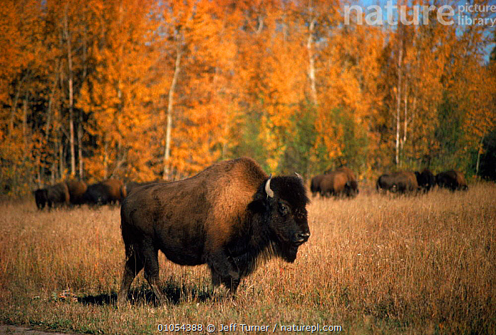 Wood bison (Bison b. athabascae). Wood Buffalo NP, Canada  ,  ARTIODACTYLA,GRASSLAND,MAMMALS,AUTUMN,CANADA,HORIZONTAL,TREES,NP,RESERVE,NORTH AMERICA,PLANTS,NATIONAL PARK,CATTLE  ,  Jeff Turner